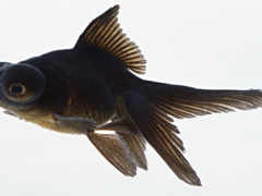fish, black, биг