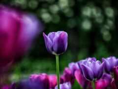 cvety, тюльпаны, фиолетовые