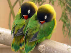 неразлучник, попугай, птица