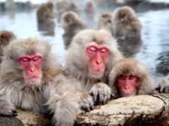 обезьяны, стресса, японские