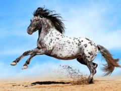 аппалуза, лошадь, пестрая