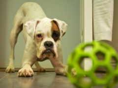 boxer, бойцы, собака