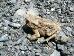 toad, boreal, борей