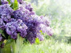 цветы, сиреневый, красивый