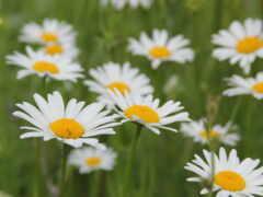 цветы, ромашка, summer