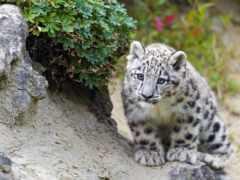 снег, леопард, барса