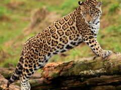 гепард, леопард, jaguar