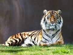 тигр, задумчивый, гордый