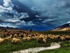 campo, oveja, pantalla