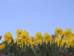 daffodils, flowers, views