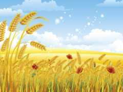 пшеницы, колосья, fone
