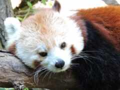 панда, red, ложь