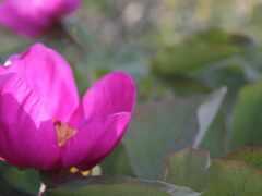 пион, цветы, id