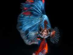 closeup, betta, bettasplendens