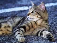 кот, ди, gatto