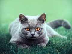 kot, mordka, oczy