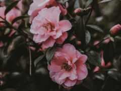 цветы, розовый, user