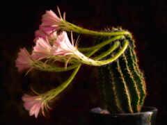 цветы, кактус, природа
