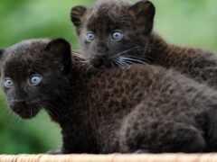 panther, black, пара