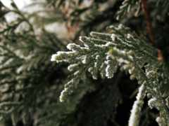 еловая, лапа, снег