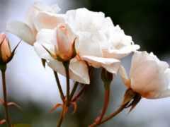 ipad, мини, роза