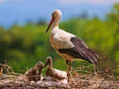 stork, птица, animal