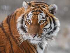 тигр, animal, морда