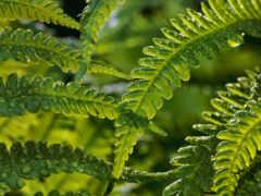 папоротник, растение, id