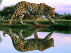 леопард, интересно, знает