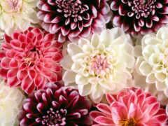 цветы, цвета, компьютер