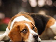 beagle, ответы, вопросы