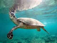 риф, plain, черепаха