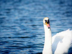 water, swan, грация