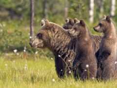 медведь, природа, wild