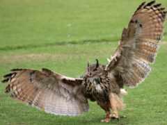 филин, крылья, pinterest