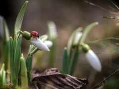 подснежник, ladybug, art