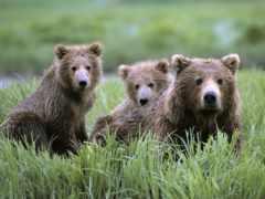 медвежата, медведь, медвежат