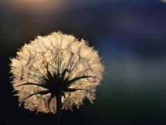 одуванчик, волоски, растение