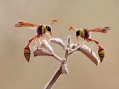 насекомое, wasp, крыло