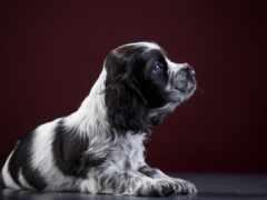 spaniel, собака, щенок