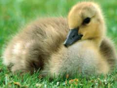 baby, duck
