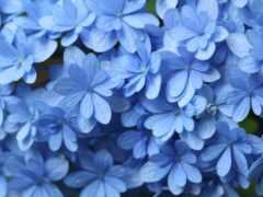 гортензия, blue, гортензия