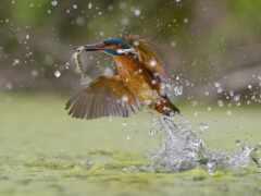kingfisher, птица, fish