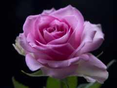 розовый, роза, день