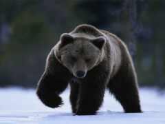 медведь, браун