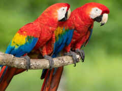red, macaw, black