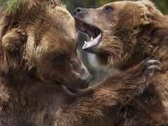 animals, bears