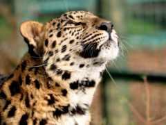 голова, леопард, кошачьих