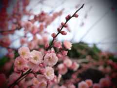 cvety, розовые, branch