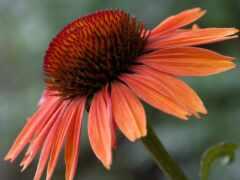 цветы, seed, эхинацея